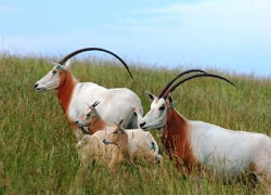 The scimitar-horned oryx, the addax, and the dama gazelle are all endangered North African species that are captive-bred for hunting. Image Source: Texas Hunting