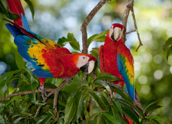 Parrots, like these scarlet macaws, are threatened by the pet trade when they are stolen from nests, smuggled, and then sold. Image Source: costaricajourneys.com